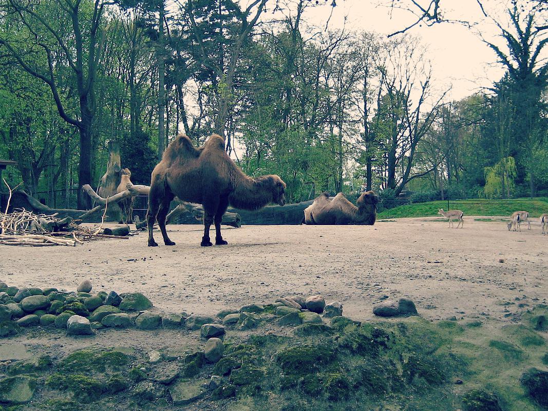 wielbłądy na wybiegu