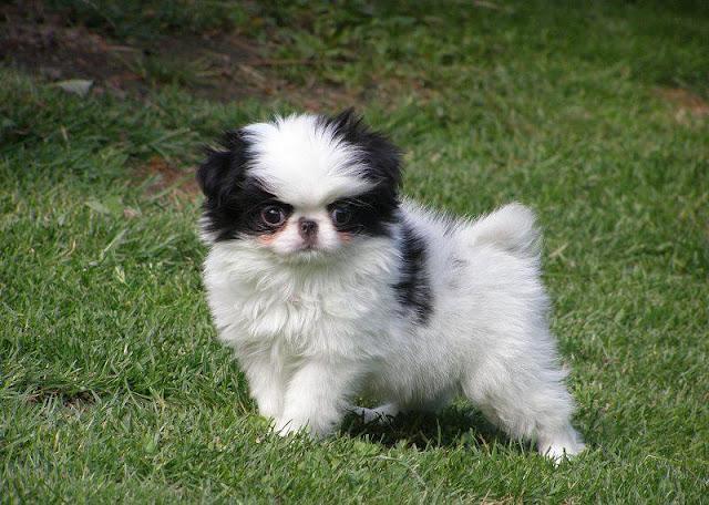 Chó Nhật – Japanese Chin: Đặc điểm, tính cách & kinh nghiệm nuôi chó Nhật xù