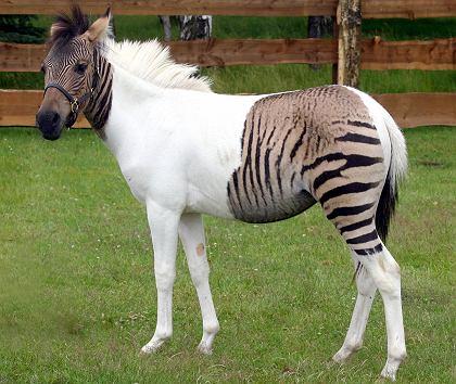 Mau Gak Sich Unik Hewan Campuran Di Dunia - Perkawinan Zebra, Chimera Dan 18 Hewan Kawin Silang Beda Spesies Yang Berhasil Halaman 2