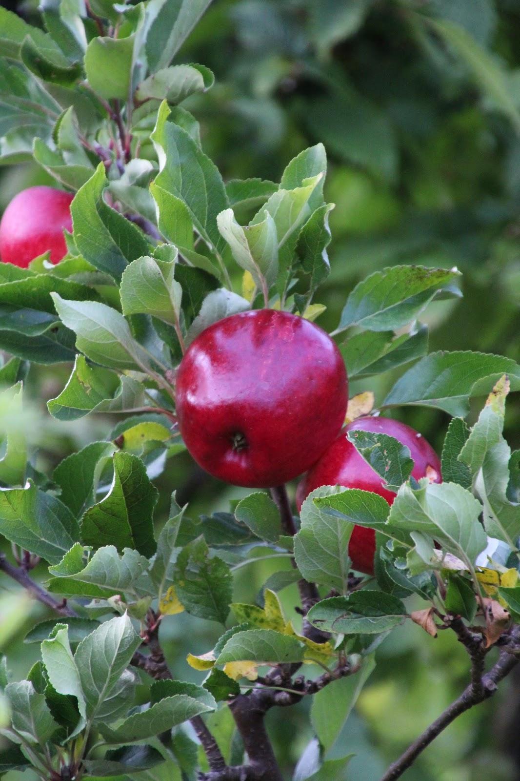 Äppelträd Katja