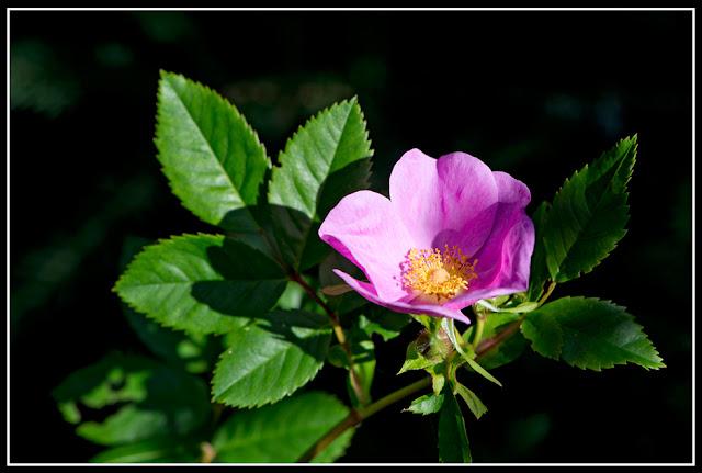 Nova Scotia; Maritimes; Rose; Wild Roses