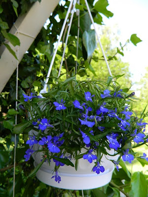 rośliny na balkon, taras, lobelia, slow life