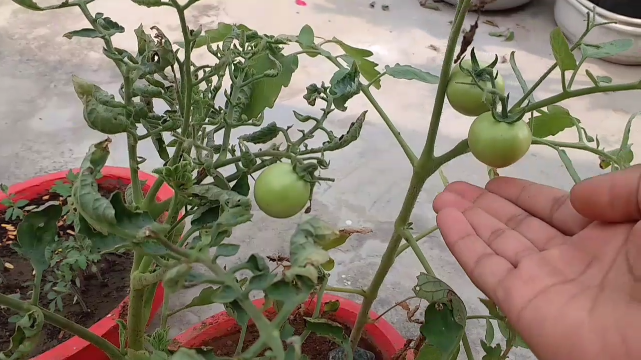 How To Grow Tomatoes From Seeds At Home With Pictures Welcome