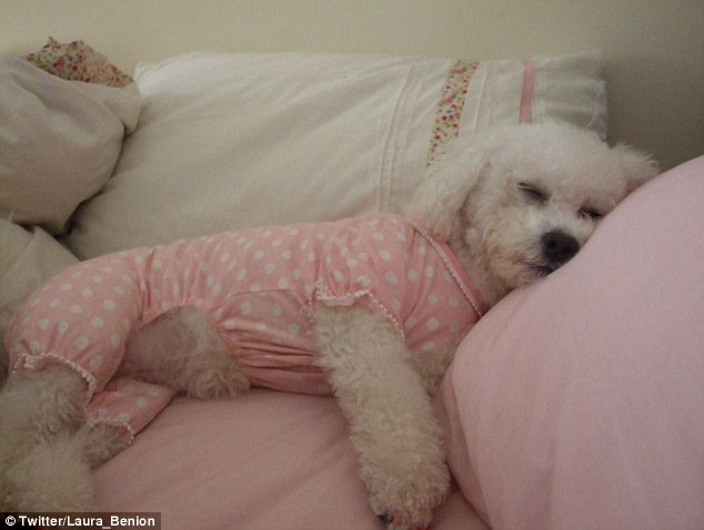 The animal zone: The tiny dog with the BIG clothes habit: With her