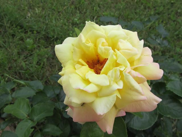 Rosa gialla Gioia