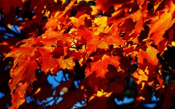 Wallpaper: Autumn leaves of a Maple Tree
