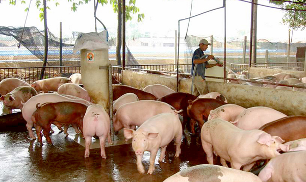 Hộ chăn nuôi đang mong giá heo hơi tăng vào dịp cuối năm