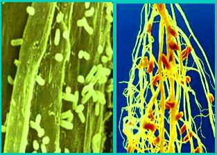 Bintil-bintil akar pada tanaman polong yang merupakan koloni bakteri Rhizobium