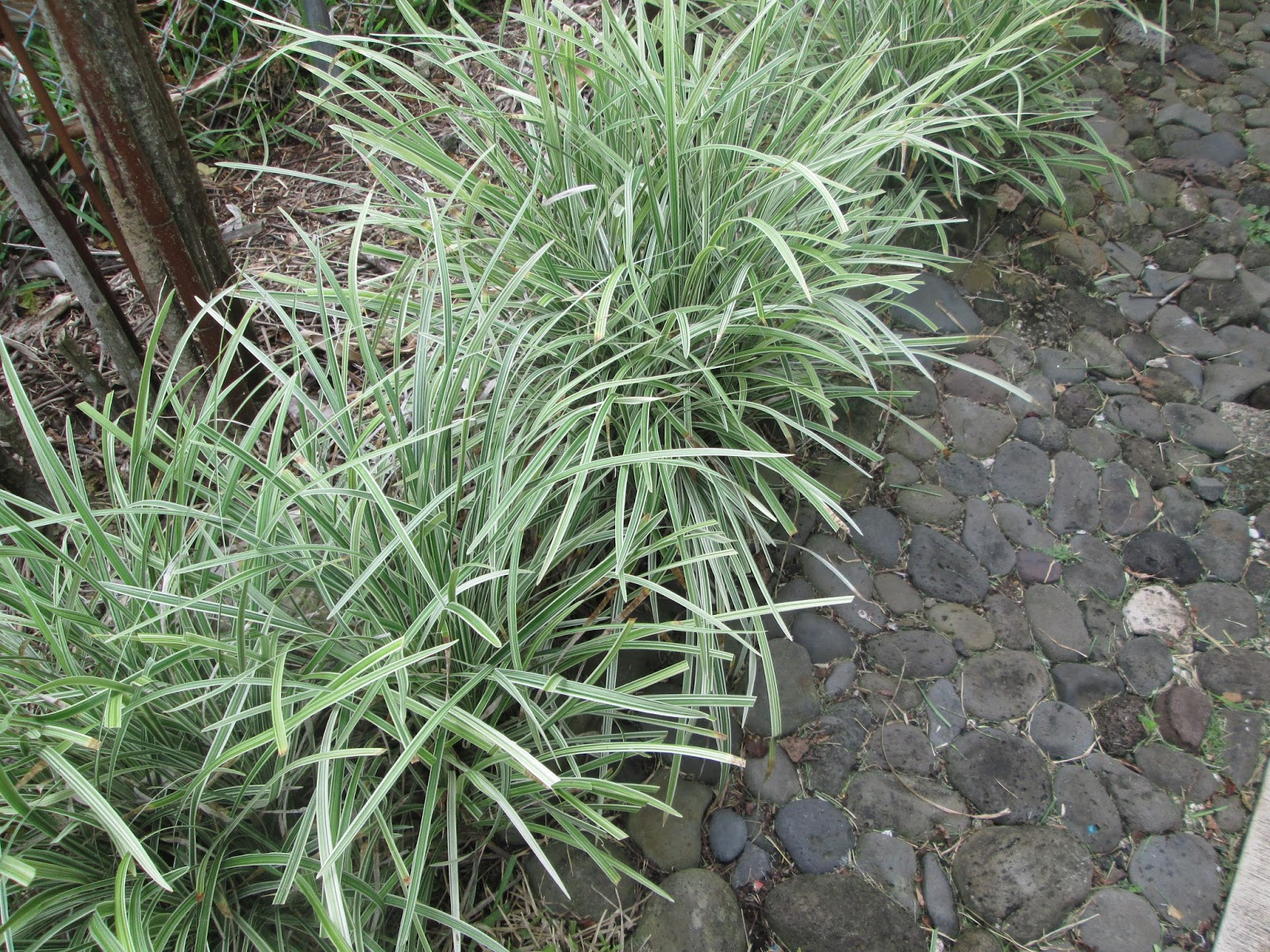 Garden Notes From Hawaii Liriope Muscari Variegata