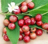 Buah kersen merupakan homogen buah yang buahnya kecil dan bagus dan berwarna merah dikala m Manfaat Buah Kersen untuk Diabetes