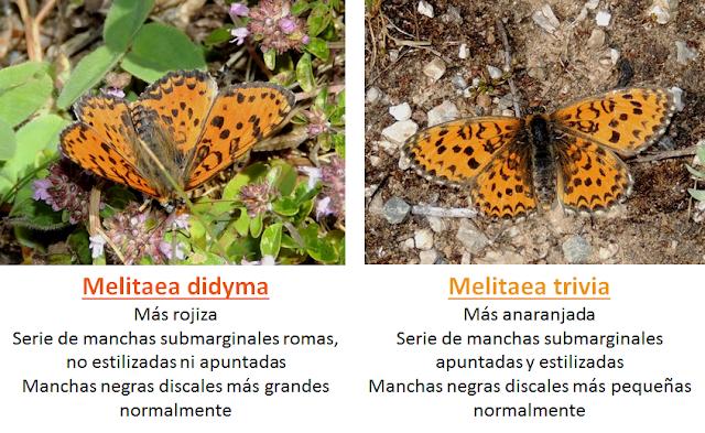 Anverso alar de Melitaea didyma y Melitaea trivia