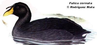 aves argentinas Gallareta cornuda Fulica cornuta