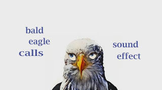 learn eagle sounds