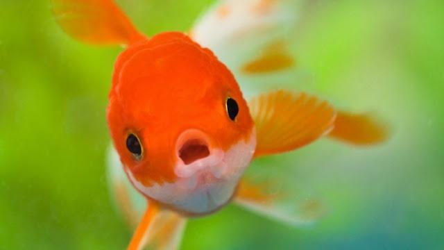 Budidaya Ikan Mas Koki - Budidaya Ikan