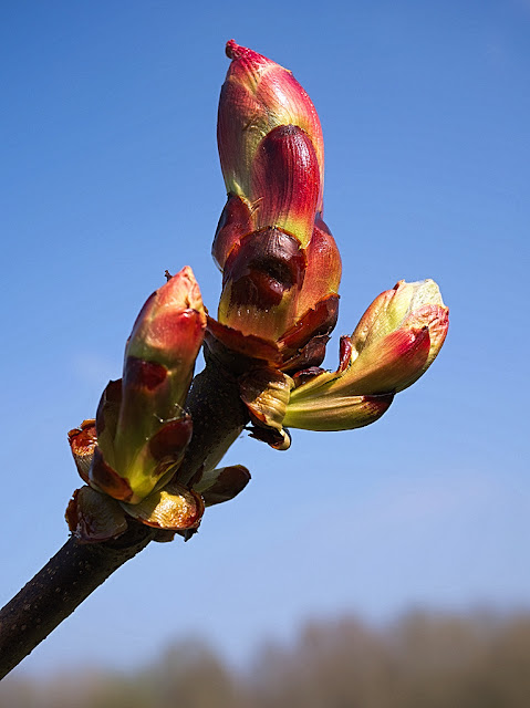 Closeup of stickly bud as it is just starting to unfurl