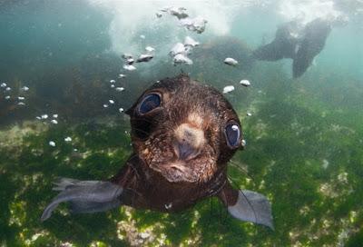 Filhote de lobo-marinho curioso