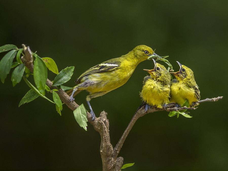 93+ Foto Gambar Burung Cipoh Umur 1 Bulan Inspiratif