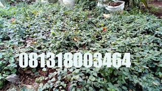 Jual Tanaman Dolar Rambat,Pohon Dolar Rambat,Tanaman Rambat Untuk Tembok