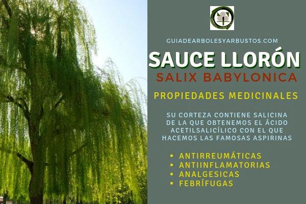 Sauce llorón tiene propiedades medicinales analgesicas, antiinflamatorias gracias a su contenido de Salicina