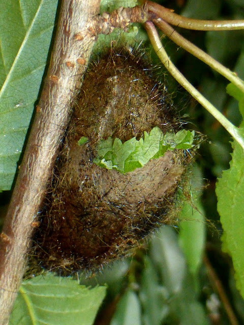 Palirisa cervina formosana cocoon
