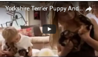 image Yorkshire Terrier Puppy Video Screen Shot