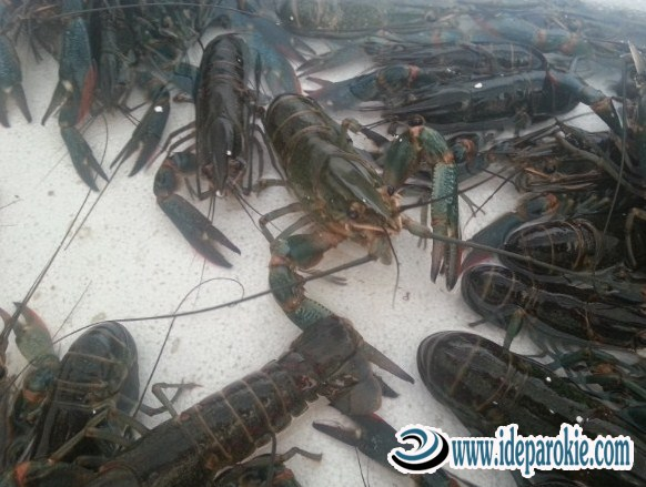 Cara Budidaya Ternak Lobster  Habitat, Pemberian Pakan dan Pemilihan Bibit