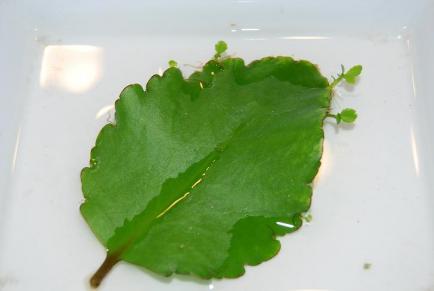 葉から芽がでる??不思議な植物ハカラメ 、セイロンベンケイソウ【n】