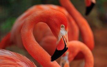 Wallpaper: Flamingo