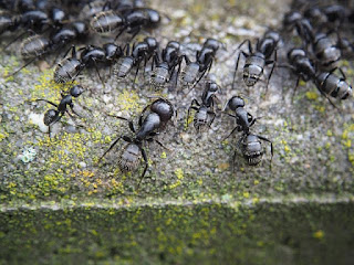 HOW TO GET RID OF SOLDIER ANTS EFFECTIVELY 1