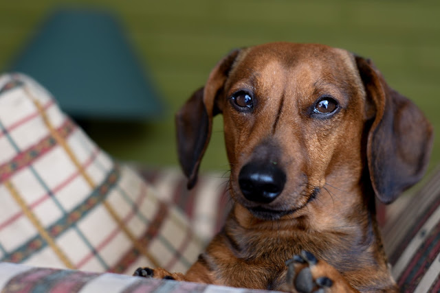 How to Take Care a Dachshund - RictasBlog