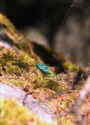 LEZARD VERT (Lacerta bilineata) mâle Trois Pignons, forêt de Fontainebleau, Greg CLOUZEAU