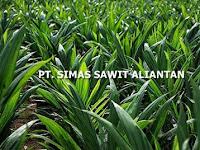 Lowongan Kerja PT. Simas Sawit Aliantan