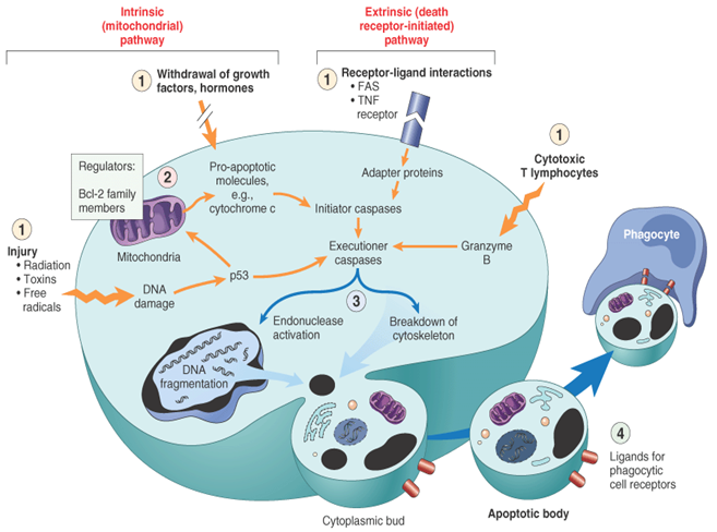 how to viruses produce specific tissue damge