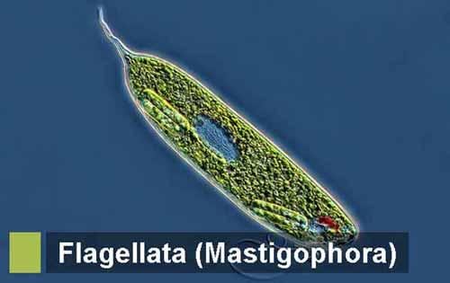 Protozoa Flagellata (mastigophora): Pengertian, Ciri, Klasifikasi, Reproduksi, Contoh dan Peranan dalam Kehidupan