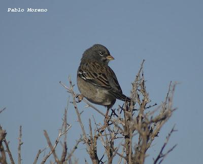 "alt=""yal negro,Phrygilus fruticeti,aves de Mendoza"""