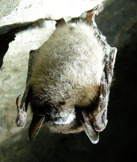 little brown bat white nose syndrome WNS