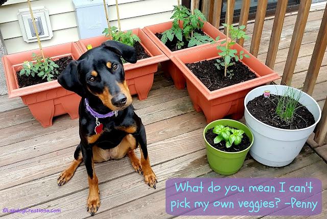 Doberman Mix Puppy with garden
