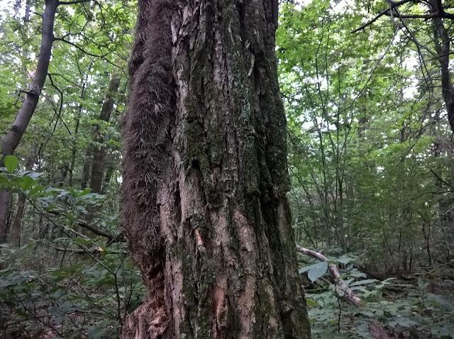 Tronco Robinia pseudoacacia