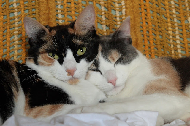 The Amazing Calico Cat - Cat Breeds in photographs