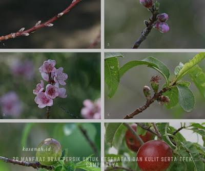 pohon buah persik