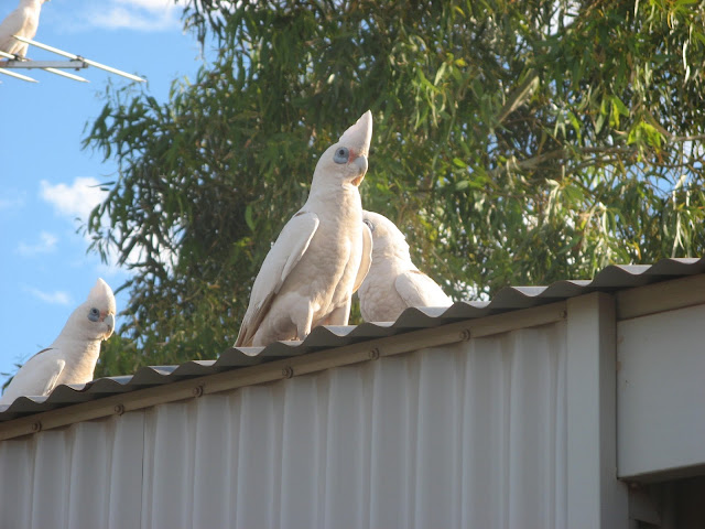 white cockatoos on a roof