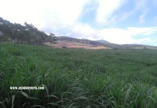 Padang rumput yang indah di Hutan Pinus Precet, Wagir, Malang