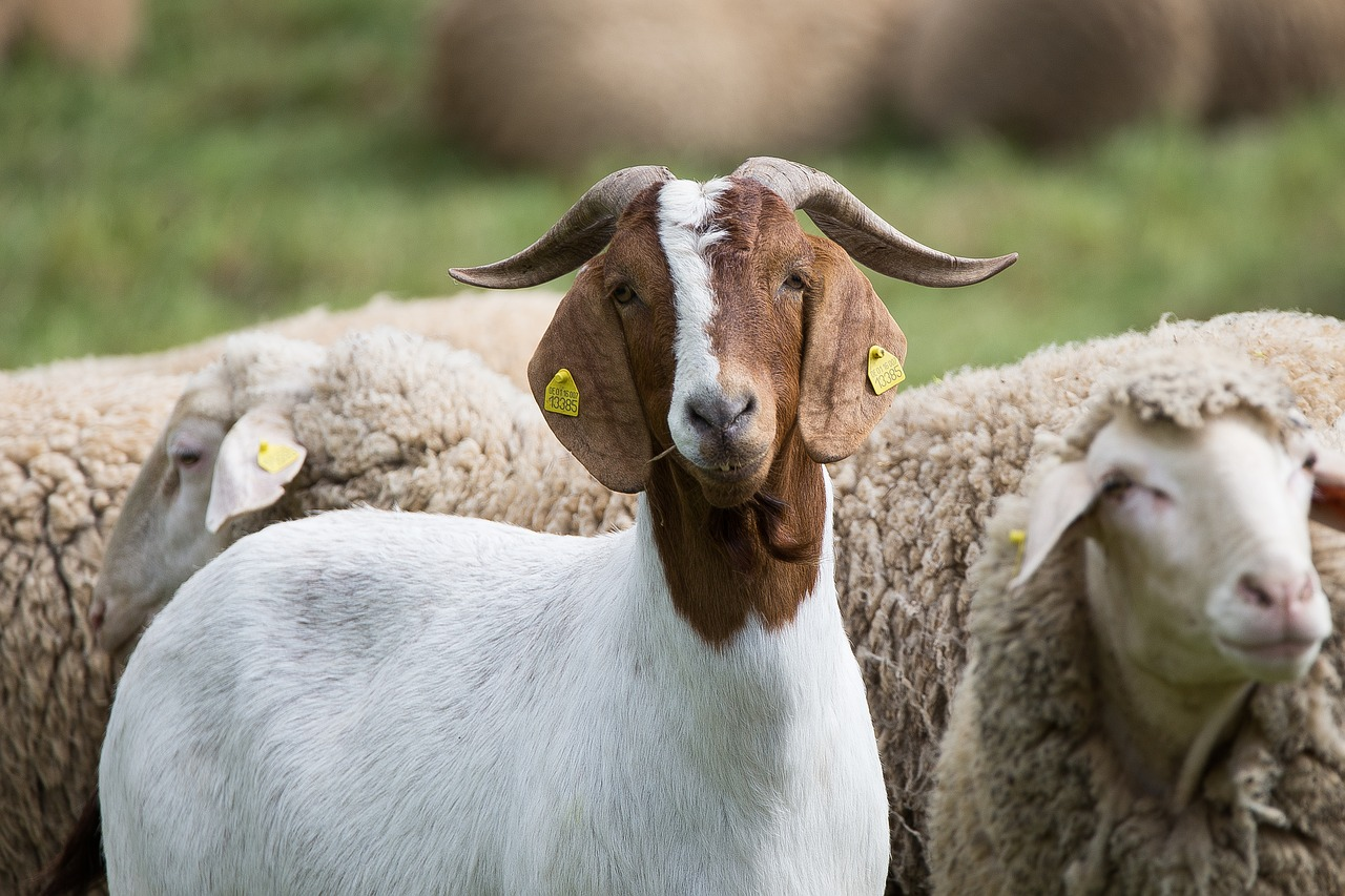 Why Goats? The Case for the Other Red Meat