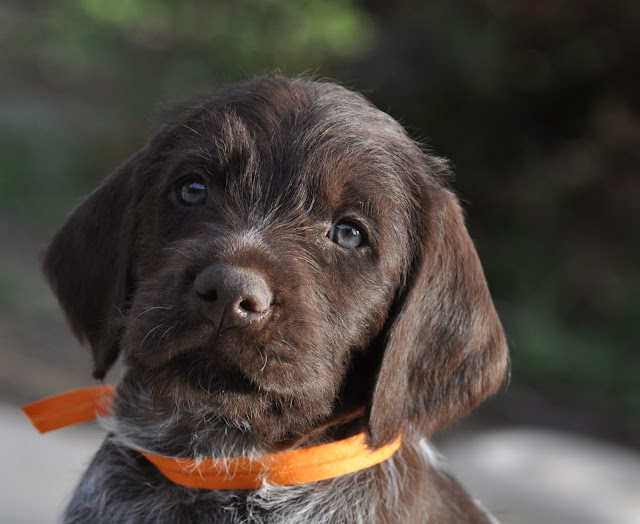 Wirehaired Pointing Griffons Idaho