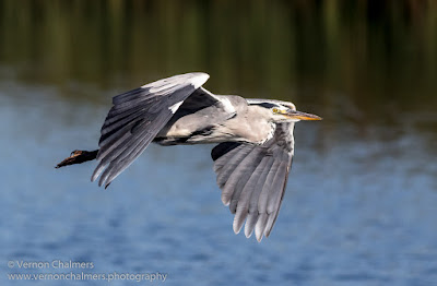 Grey Heron in Flight 3 / 4 : Woodbridge Island, Cape Town