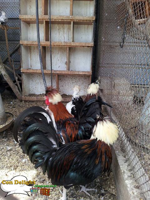 תרנגולים roosters