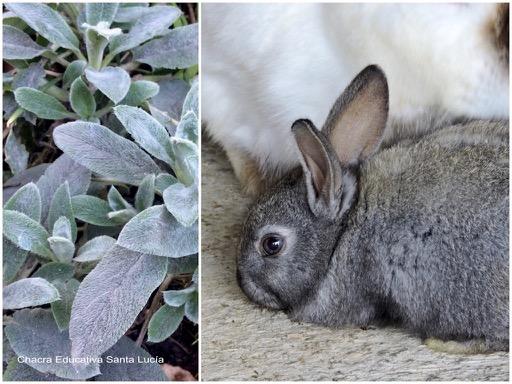 Planta oreja de conejo / Conejito gris - Chacra Educativa Santa Lucía