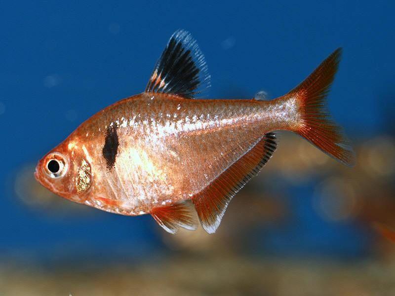 10. Jenis Ikan Hias Aquascape Serpae Tetra