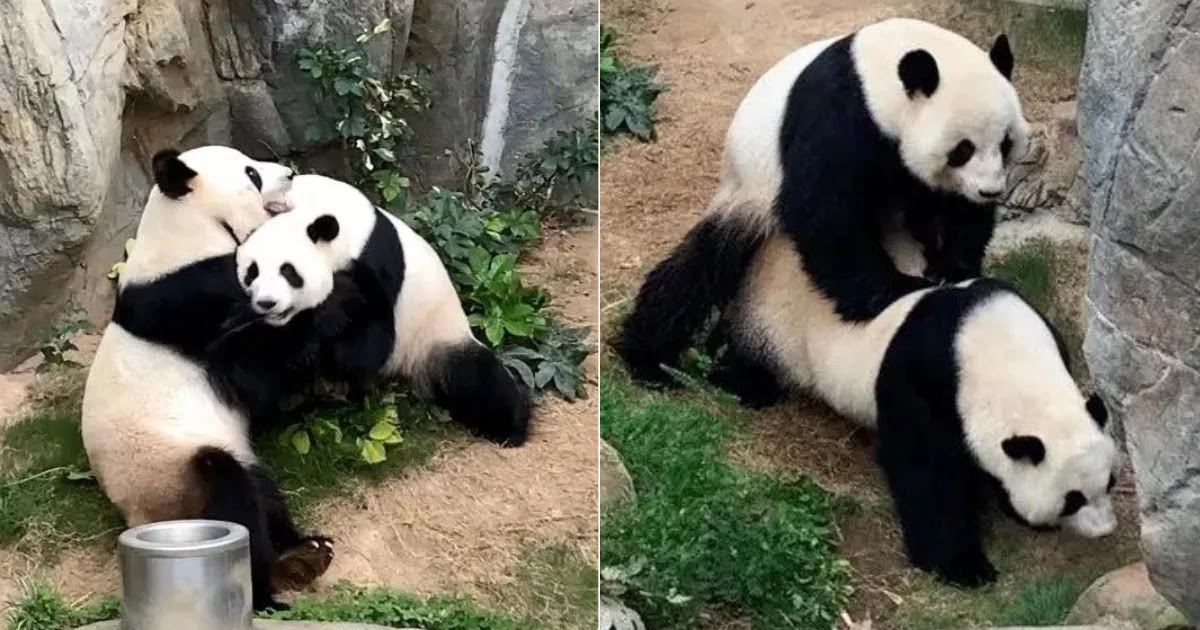 With Zoo In Hong Kong Closed Due To CoVid-19, Pandas Finally Have Sex For The First Time In 10 Years!