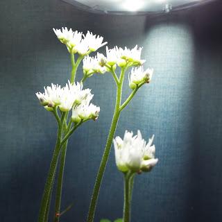 丹頂草 開花
